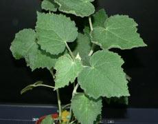 абутилон винограднолистный
