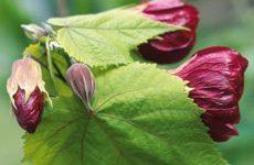комнатное растение клен