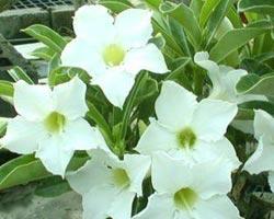 Адениум арабикум White