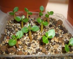 Выращивание адениума арабикум из семян