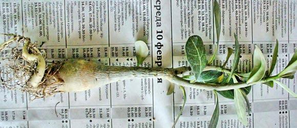 адениум размножение черенками