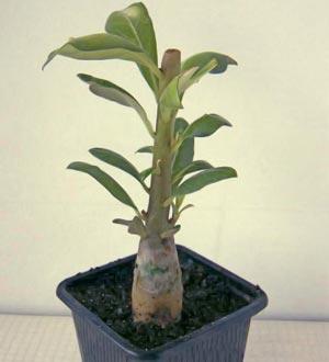 фото выращивания из черенков