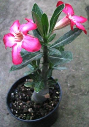 цветение адениумов из семян
