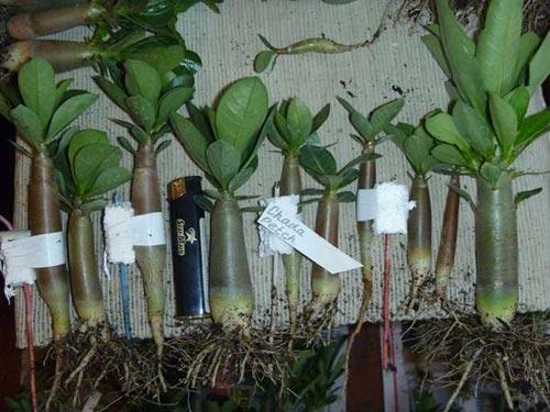 очистить корни от грунта