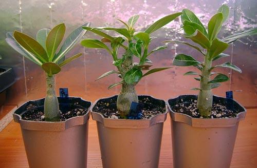 поместить в горшок большего размера, расправить корни