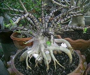 под основание растения и между корней можно помещать камни