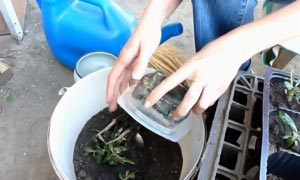 Растение вынимают из горшка