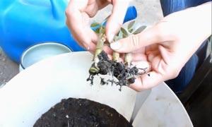 осматривают корни, удаляют загнившие, поврежденные корешки