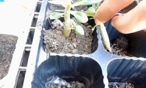 Постукивают по горшку, чтобы грунт осел плотнее и занял все пустоты между корешками