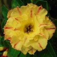 адениум тучный Golden Rose