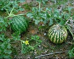 выращивание ранних арбузов