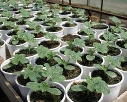 арбуз выращивание и уход