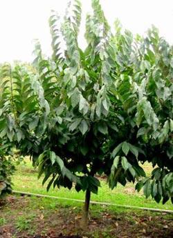 дерево азимины