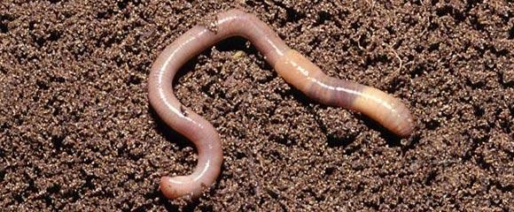 черви в огороде