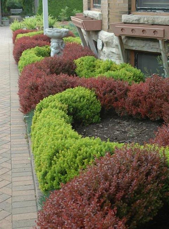живая изгородь из барбариса в ландшафтном дизайн