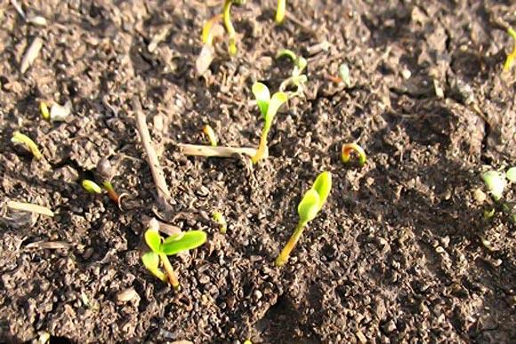 ростки барбариса