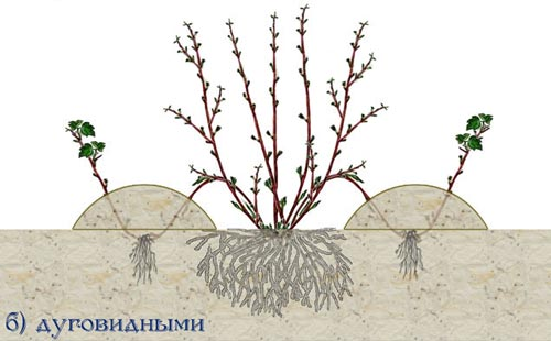 размножение барбариса отводами