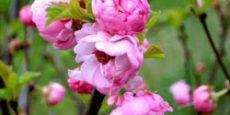 бобовник садовый