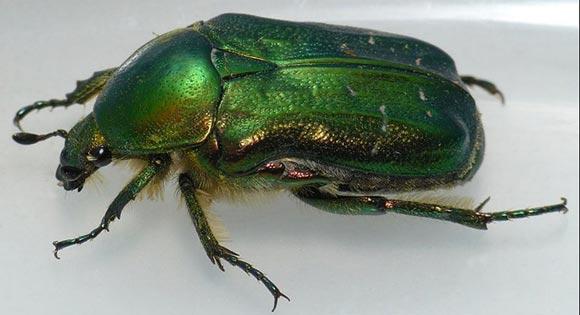 Бронзовка малая зеленая