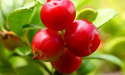 чем полезна ягода брусника