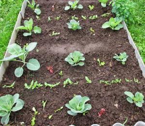 как сажать брюссельскую капусту