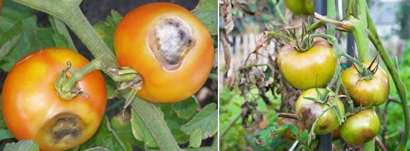 фото бурой пятнистости на томатах (кладоспориоз томатов)