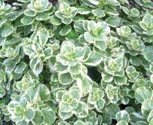 растение Колеус собачий (Coleus caninus)