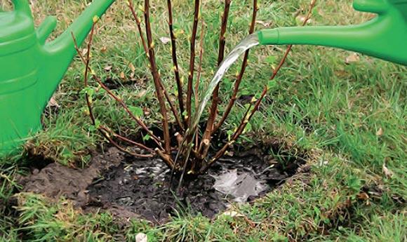 Обработка приствольных кругов осенью у черной смородины