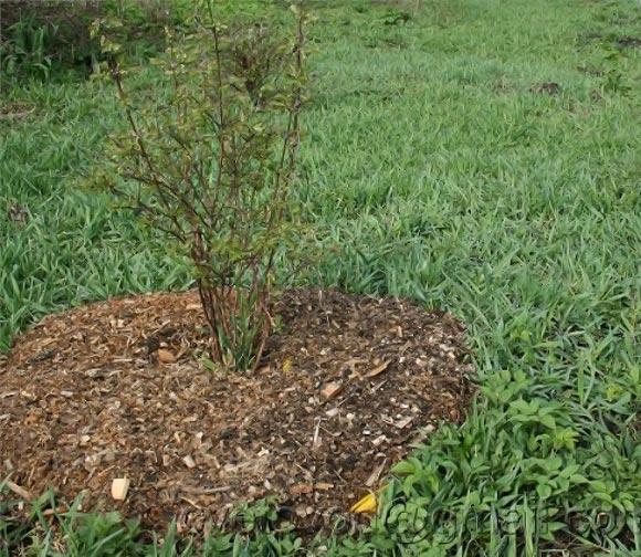 мульчирование приствольных кругов у черной смородины осенью