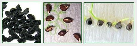 chernushka-semena