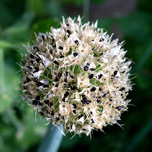 как получить семена лука чернушки