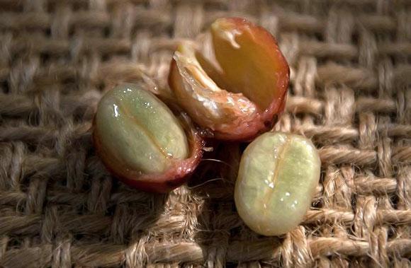 семена кофе для посадки