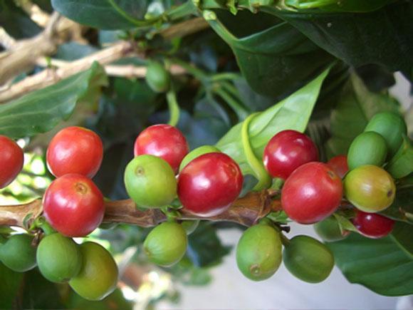 семена кофе
