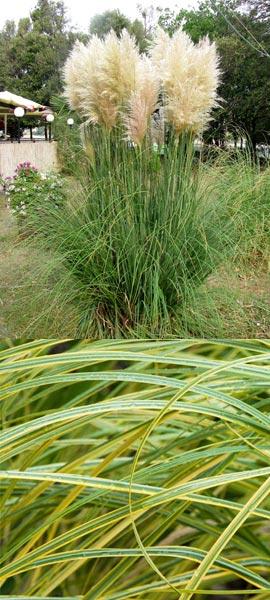 кортадерия пампасная трава