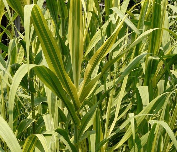 Листья пампасной травы