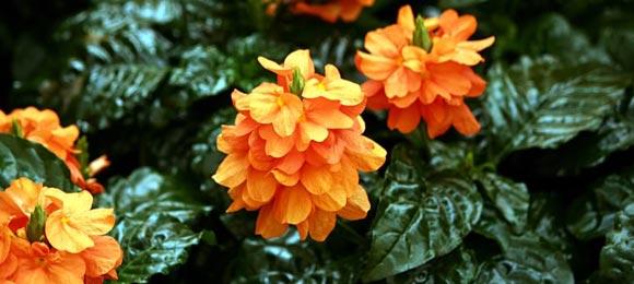 цветы кроссандра