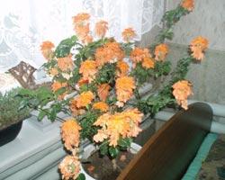 комнатные цветы кроссандра