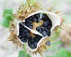 семена датуры