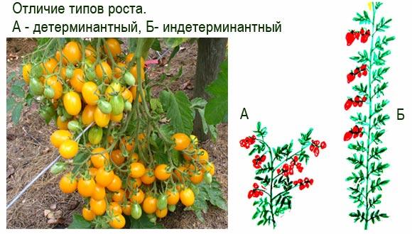 отличие типов роста детерминантных и идетерминантных томатов