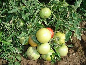 полудетерминантные помидоры