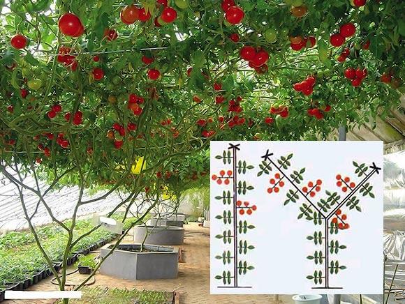 формирование индетерминантного томата