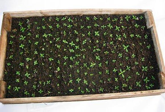 выращивание эустомы из семян