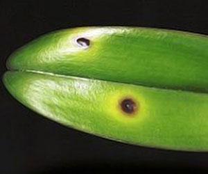 Филлостиктоз орхидей
