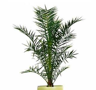 финиковая пальма канарская