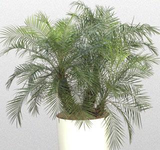 фото финиковой пальмы