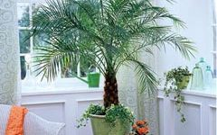 выращивание финиковой пальмы