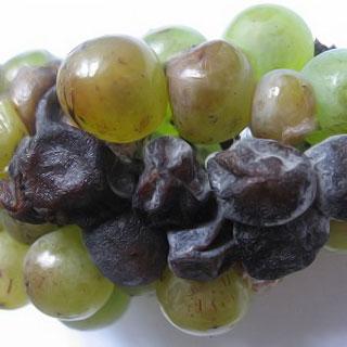 Черная гниль винограда