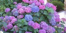 фото садовой гортензии