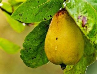Грушевая плодожорка на груше