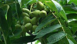 грецкий орех выращивание и уход